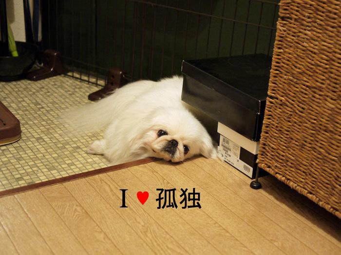 ペキニーズ Blog-白ペキニーズ シロ♂ & 白黒ペキニーズ クロ♀のフォトブログ-2011.6.18.シロ
