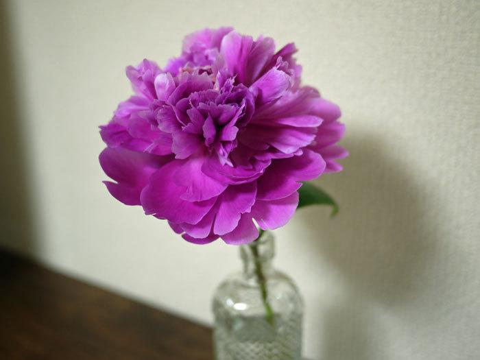 ペキニーズ Blog-白ペキニーズ シロ♂ & 白黒ペキニーズ クロ♀のフォトブログ-2011.6.23.ピオニー