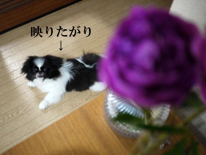 ペキニーズ Blog-白ペキニーズ シロ♂ & 白黒ペキニーズ クロ♀のフォトブログ-2011.6.23.クロ&ピオニー