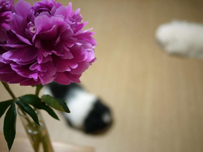 ペキニーズ Blog-白ペキニーズ シロ♂ & 白黒ペキニーズ クロ♀のフォトブログ-2011.6.23.シロクロ&ピオニー