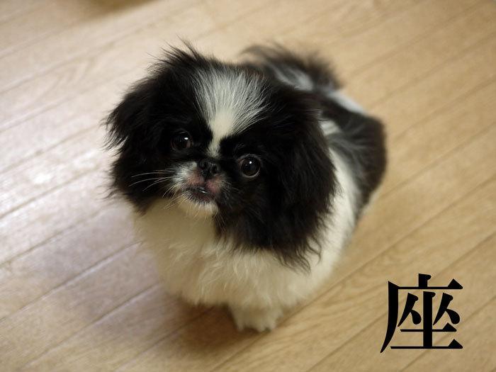 ペキニーズ Blog-白ペキニーズ シロ♂ & 白黒ペキニーズ クロ♀のフォトブログ-2011.6.23.クロ座