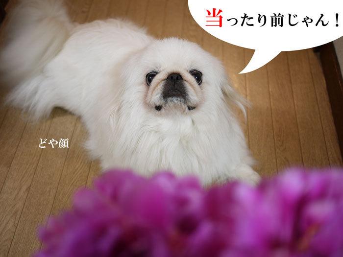 ペキニーズ Blog-白ペキニーズ シロ♂ & 白黒ペキニーズ クロ♀のフォトブログ-2011.6.23.シロ&ピオニー