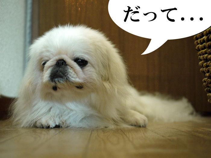 ペキニーズ Blog-白ペキニーズ シロ♂ & 白黒ペキニーズ クロ♀のフォトブログ-2011.6.25.シロ