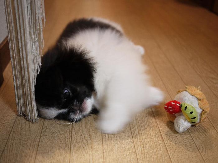 ペキニーズ Blog-白ペキニーズ シロ♂ & 白黒ペキニーズ クロ♀のフォトブログ-2011.6.25.クロ