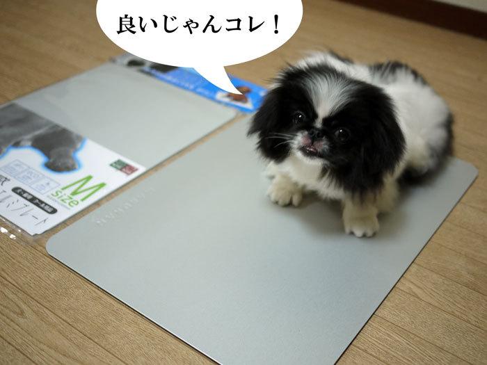 ペキニーズ Blog-白ペキニーズ シロ♂ & 白黒ペキニーズ クロ♀のフォトブログ-2011.6.27.クロ