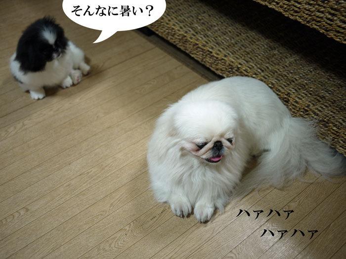 ペキニーズ Blog-白ペキニーズ シロ♂ & 白黒ペキニーズ クロ♀のフォトブログ-2011.6.27.シロクロ