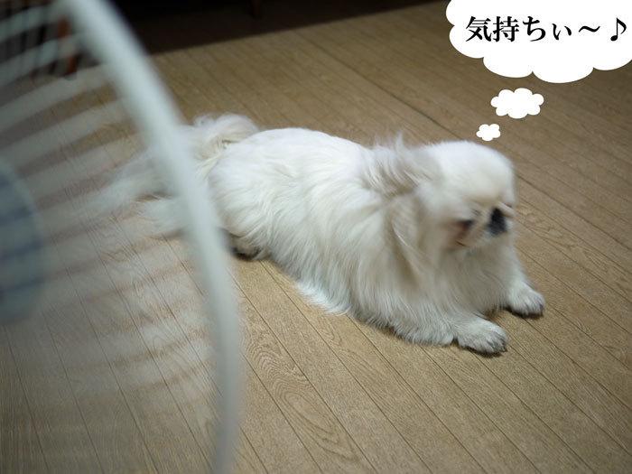 ペキニーズ Blog-白ペキニーズ シロ♂ & 白黒ペキニーズ クロ♀のフォトブログ-2011.6.27.シロ