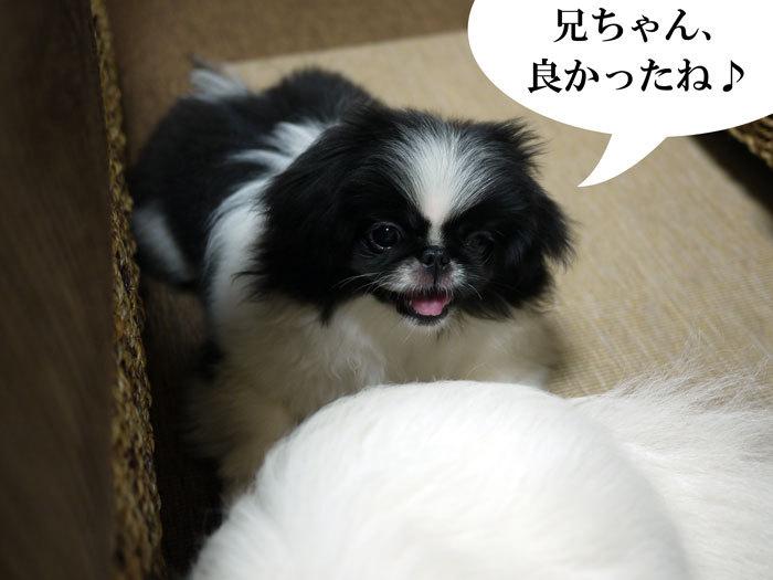 ペキニーズ Blog-白ペキニーズ シロ♂ & 白黒ペキニーズ クロ♀のフォトブログ-2011.6.29.クロ