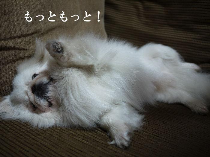 ペキニーズ Blog-白ペキニーズ シロ♂ & 白黒ペキニーズ クロ♀のフォトブログ-2011.7.2.シロ