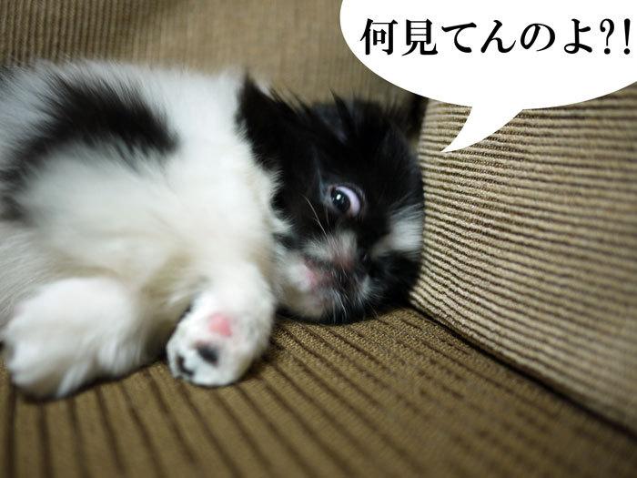 ペキニーズ Blog-白ペキニーズ シロ♂ & 白黒ペキニーズ クロ♀のフォトブログ-2011.7.2.クロ