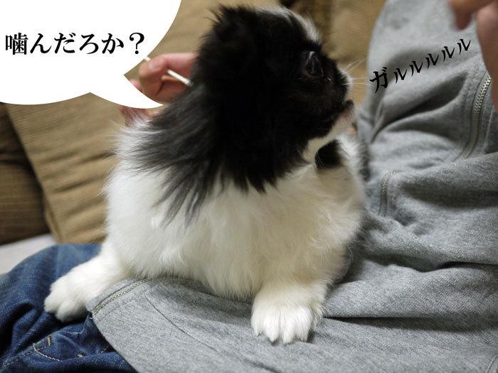 ペキニーズ Blog-白ペキニーズ シロ♂ & 白黒ペキニーズ クロ♀のフォトブログ-2011.7.3.クロ