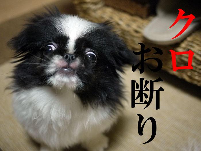 $ペキニーズ Blog-白ペキニーズ シロ♂ & 白黒ペキニーズ クロ♀のフォトブログ-2011.7.3.クロ