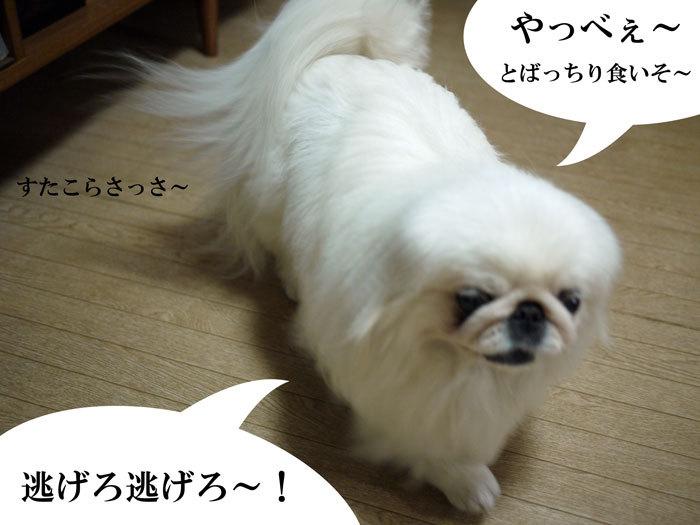 ペキニーズ Blog-白ペキニーズ シロ♂ & 白黒ペキニーズ クロ♀のフォトブログ-2011.7.3.シロ