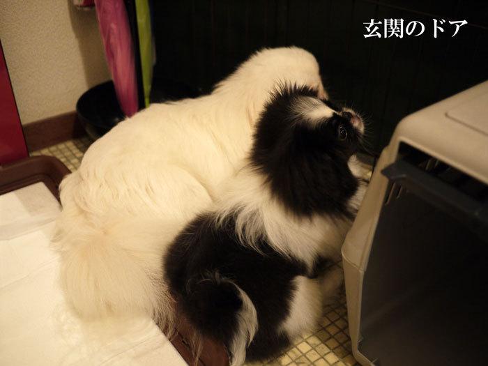 ペキニーズ Blog-白ペキニーズ シロ♂ & 白黒ペキニーズ クロ♀のフォトブログ-2011.7.25.シロクロFACE