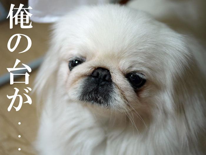 ペキニーズ Blog-白ペキニーズ シロ♂ & 白黒ペキニーズ クロ♀のフォトブログ-2011.7.20..シロ