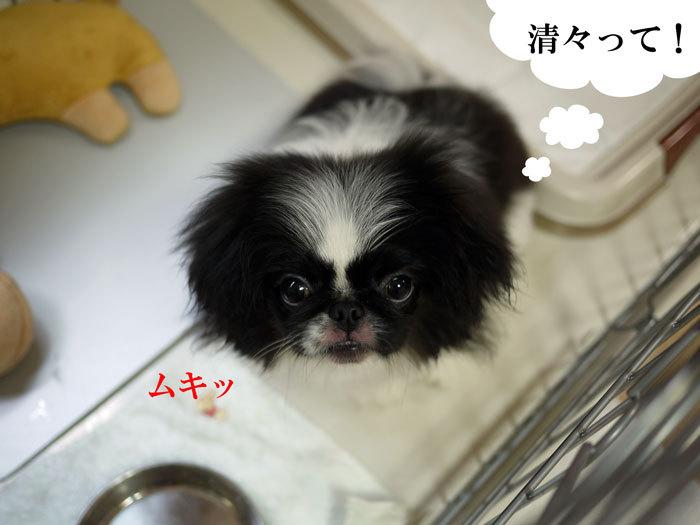 ペキニーズ Blog-白ペキニーズ シロ♂ & 白黒ペキニーズ クロ♀のフォトブログ-2011.7.9.クロ
