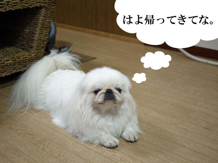 ペキニーズ Blog-白ペキニーズ シロ♂ & 白黒ペキニーズ クロ♀のフォトブログ-2011.7.9.シロ