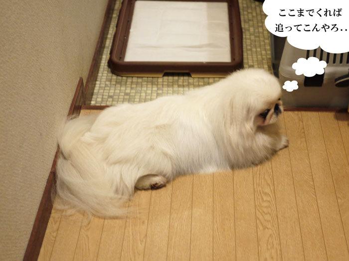 ペキニーズ Blog-白ペキニーズ シロ♂ & 白黒ペキニーズ クロ♀のフォトブログ-2011.7.5.シロ