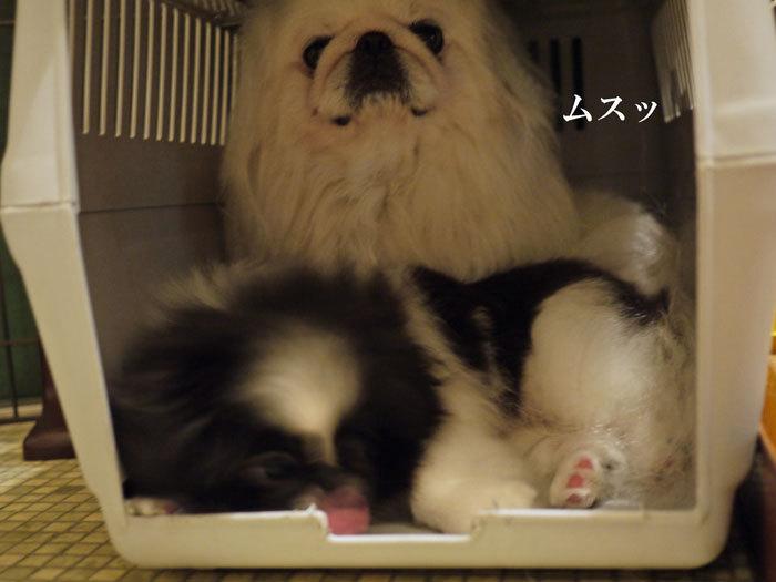 ペキニーズ Blog-白ペキニーズ シロ♂ & 白黒ペキニーズ クロ♀のフォトブログ-2011.7.5.シロクロ