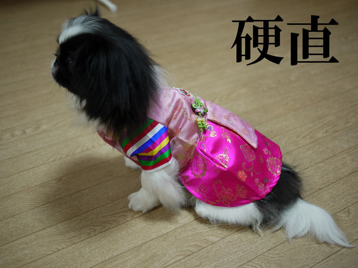 ペキニーズ Blog-白ペキニーズ シロ♂ & 白黒ペキニーズ クロ♀のフォトブログ-2011.7.30.クロ