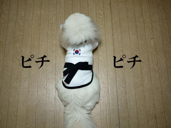 ペキニーズ Blog-白ペキニーズ シロ♂ & 白黒ペキニーズ クロ♀のフォトブログ-2011.7.30.シロ