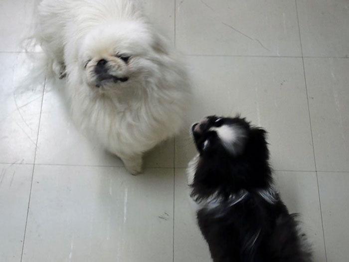 ペキニーズ Blog-白ペキニーズ シロ♂ & 白黒ペキニーズ クロ♀のフォトブログ-2011.8.3.シロクロ