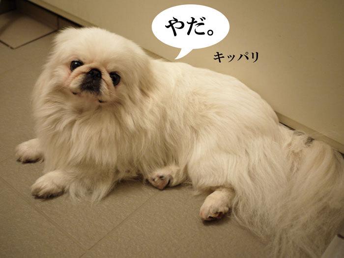 ペキニーズ Blog-白ペキニーズ シロ♂ & 白黒ペキニーズ クロ♀のフォトブログ-2011.7.8.シロ