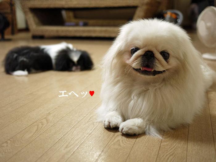 ペキニーズ Blog-白ペキニーズ シロ♂ & 白黒ペキニーズ クロ♀のフォトブログ-2011.7.8.シロクロ