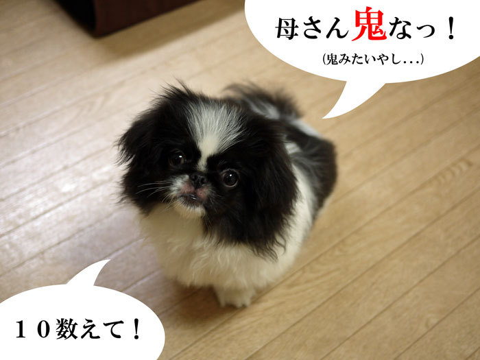 ペキニーズ Blog-白ペキニーズ シロ♂ & 白黒ペキニーズ クロ♀のフォトブログ-2011.7.6.クロ