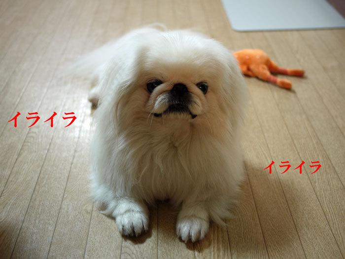 ペキニーズ Blog-白ペキニーズ シロ♂ & 白黒ペキニーズ クロ♀のフォトブログ-2011.7.6.シロ