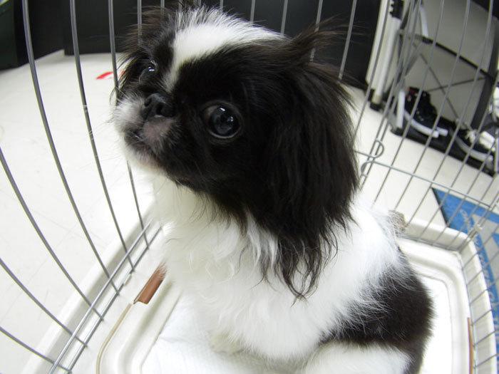 ペキニーズ Blog-白ペキニーズ シロ♂ & 白黒ペキニーズ クロ♀のフォトブログ-素敵なシロ君の笑顔が撮れたので