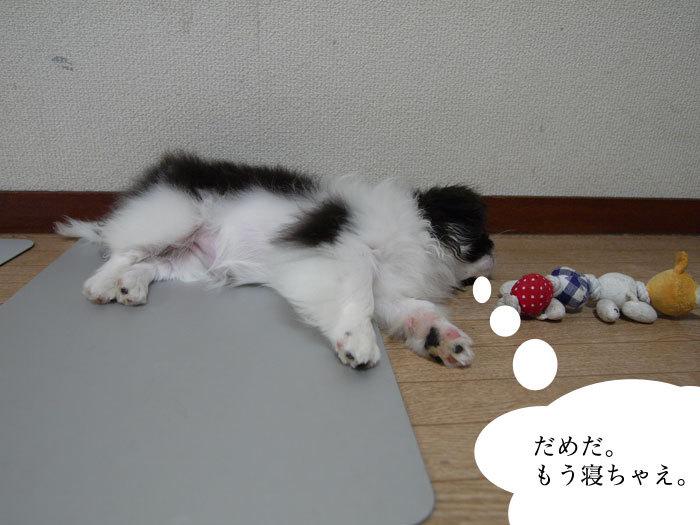 ペキニーズ Blog-白ペキニーズ シロ♂ & 白黒ペキニーズ クロ♀のフォトブログ-クロは悪女じゃありませんよ