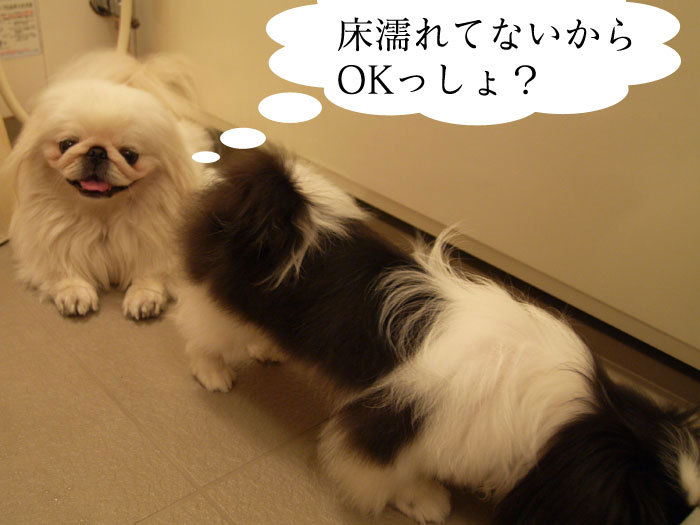 ペキニーズ Blog-白ペキニーズ シロ♂ & 白黒ペキニーズ クロ♀のフォトブログ-クロも避暑地へ。
