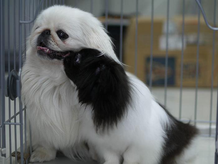ペキニーズ Blog-白ペキニーズ シロ♂ & 白黒ペキニーズ クロ♀のフォトブログ-ほっこり♪シロクロニーズで2ショット