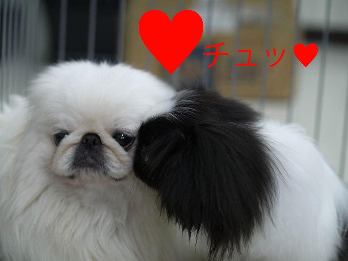 ペキニーズ Blog-白ペキニーズ シロ♂ & 白黒ペキニーズ クロ♀のフォトブログ-ほっこり♪シロクロニーズで2ショット。