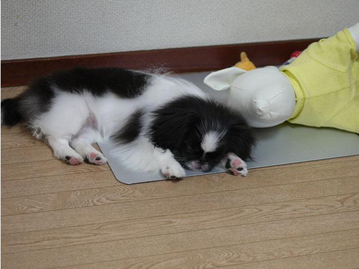 ペキニーズ Blog-白ペキニーズ シロ♂ & 白黒ペキニーズ クロ♀のフォトブログ-眠れるリビングのクロニーズ。