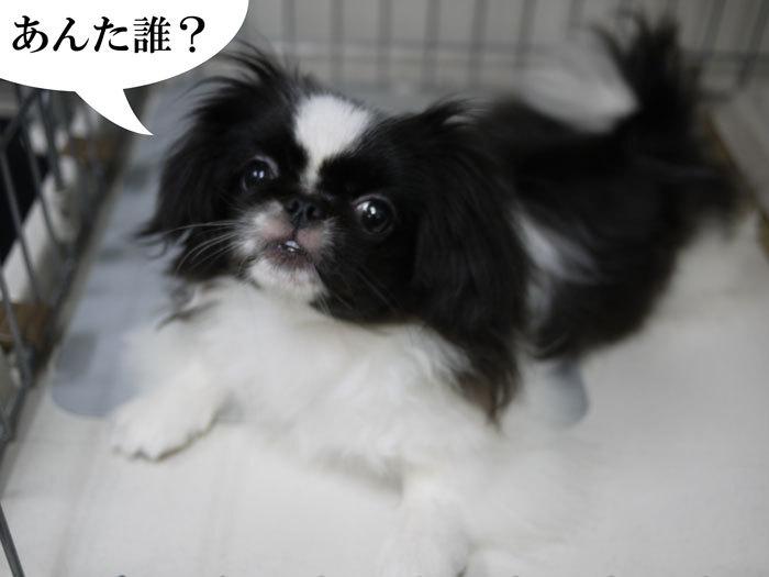 ペキニーズ Blog-白ペキニーズ シロ♂ & 白黒ペキニーズ クロ♀のフォトブログ-2011.7.19.クロ