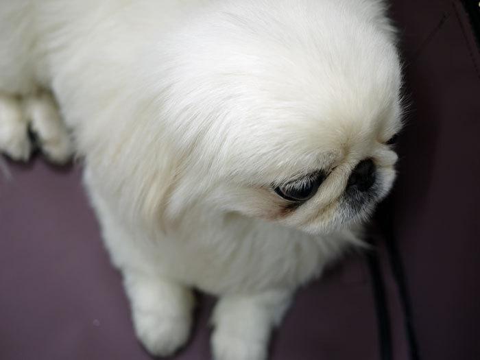 ペキニーズ Blog-白ペキニーズ シロ♂ & 白黒ペキニーズ クロ♀のフォトブログ-2011.7.19.シロ