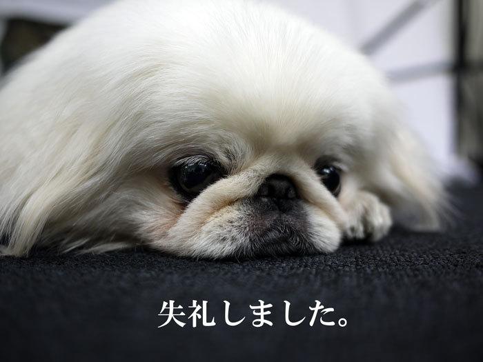 ペキニーズ Blog-白ペキニーズ シロ♂ & 白黒ペキニーズ クロ♀のフォトブログ-2011.7.22.シロ