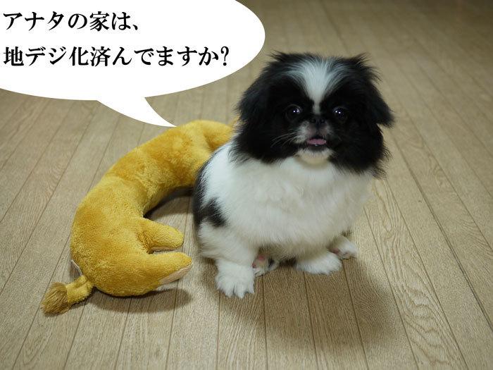 ペキニーズ Blog-白ペキニーズ シロ♂ & 白黒ペキニーズ クロ♀のフォトブログ-2011.7.24.クロ