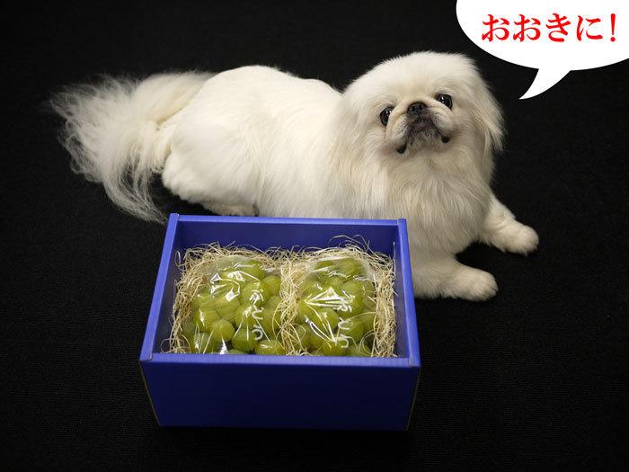 ペキニーズ Blog-白ペキニーズ シロ♂ & 白黒ペキニーズ クロ♀のフォトブログ-2011.7.29.シロ&マスカット