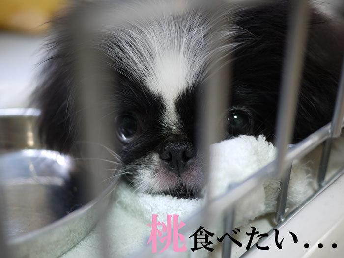 ペキニーズ Blog-白ペキニーズ シロ♂ & 白黒ペキニーズ クロ♀のフォトブログ-2011.7.29.クロ