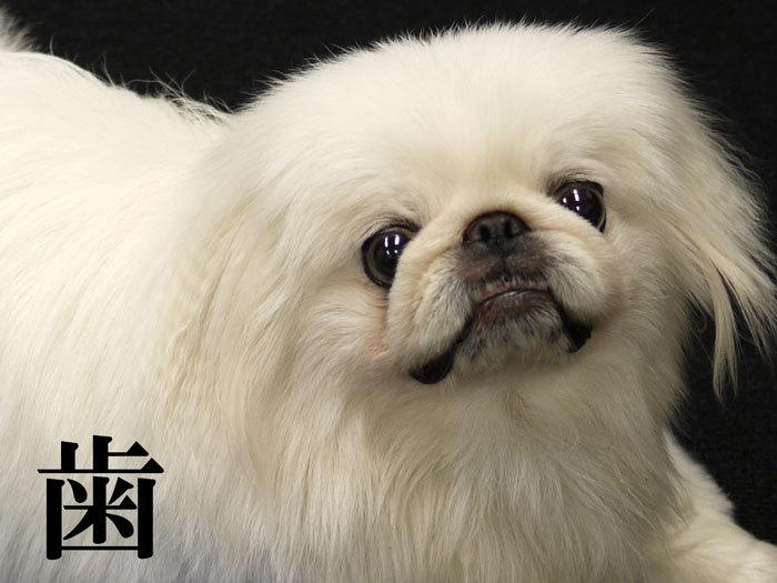 ペキニーズ Blog-白ペキニーズ シロ♂ & 白黒ペキニーズ クロ♀のフォトブログ-2011.7.29.シロ