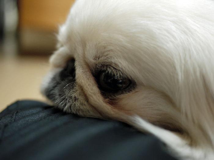 ペキニーズ Blog-白ペキニーズ シロ♂ & 白黒ペキニーズ クロ♀のフォトブログ-2011.8.2.シロ