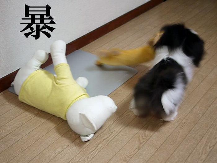 ペキニーズ Blog-白ペキニーズ シロ♂ & 白黒ペキニーズ クロ♀のフォトブログ-2011.8.2.クロ