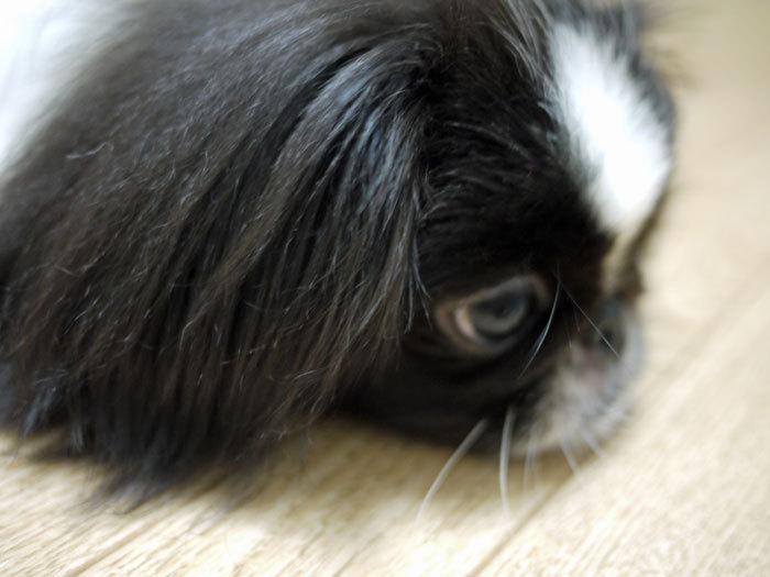 ペキニーズ Blog-白ペキニーズ シロ♂ & 白黒ペキニーズ クロ♀のフォトブログ-2011.5.8.クロ