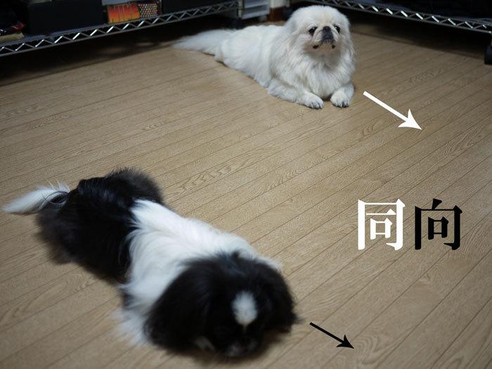 ペキニーズ Blog-白ペキニーズ シロ♂ & 白黒ペキニーズ クロ♀のフォトブログ-2011.5.8.シロクロ