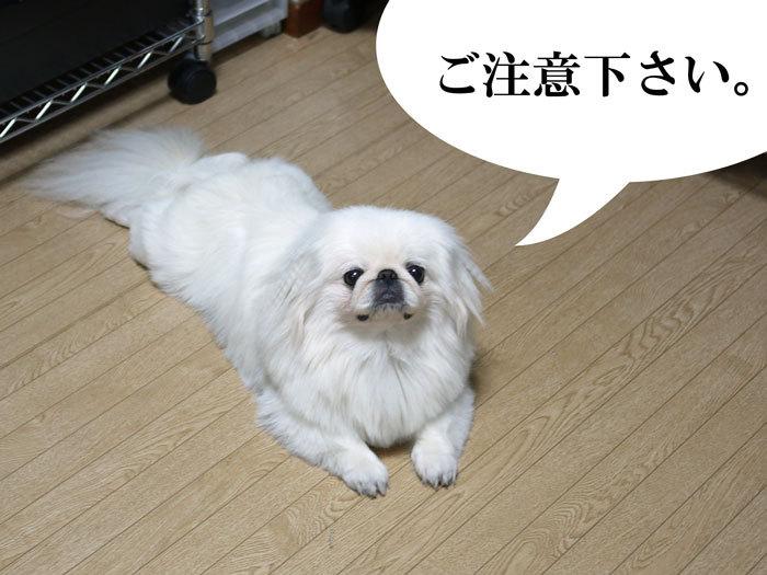ペキニーズ Blog-白ペキニーズ シロ♂ & 白黒ペキニーズ クロ♀のフォトブログ-2011.5.8.シロ