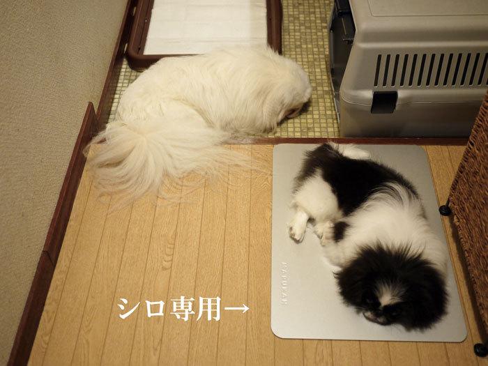 ペキニーズ Blog-白ペキニーズ シロ♂ & 白黒ペキニーズ クロ♀のフォトブログ-2011.8.8.シロクロ