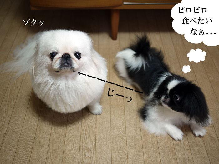 ペキニーズ Blog-白ペキニーズ シロ♂ & 白黒ペキニーズ クロ♀のフォトブログ-2011.8.9.シロクロ